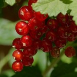 Currants, a fruit that can not miss in your diet