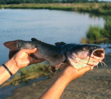 harmful fish